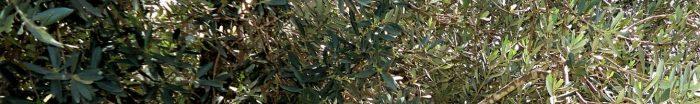 cropped-dsc01752_t2f_olivetree_cropv.jpg