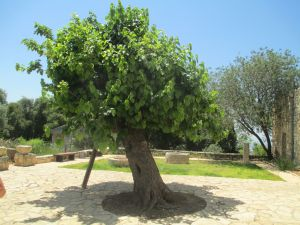 Old mulberry tree in Kibbutz Hanita