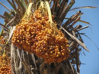 10_Date clusters, Eshkol Park, Negev
