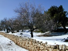 Almond tree in the snow north of Bethlehem_By Todd BolenBiblePlaces.com