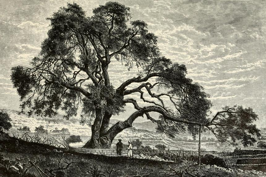 Terebinth Tree_1908
